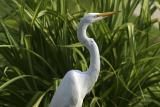 Great Egret (DR2004_3025W.jpg)
