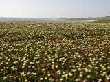 Sea of Iceplant Flowers