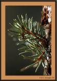 vail_04_pine_bud.jpg