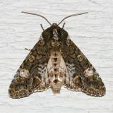 10021 -- Grote's Sallow Moth -- Copivaleria grotei