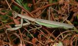 Chinese Mantid - Tenodera aridifolia