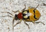Leaf Beetles - Subfamily Galerucinae - Skeletonizing  Leaf Beetles