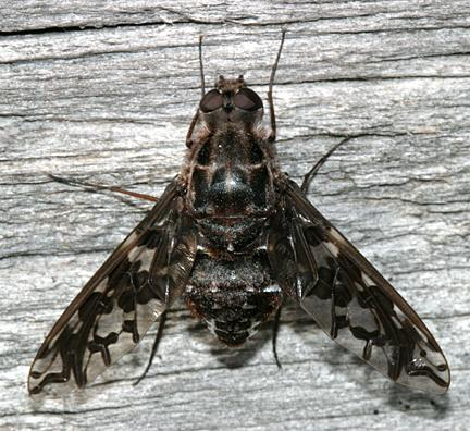 Xenox tigrinus (Tiger Bee Fly)