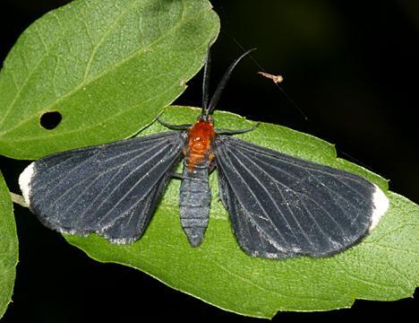 6616 - White-tipped Black Moth - Melanchroia chephise