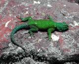 Izalco Lizard