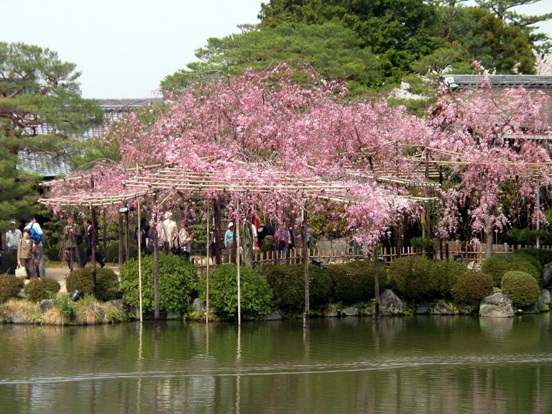 Masses of cherry blossoms