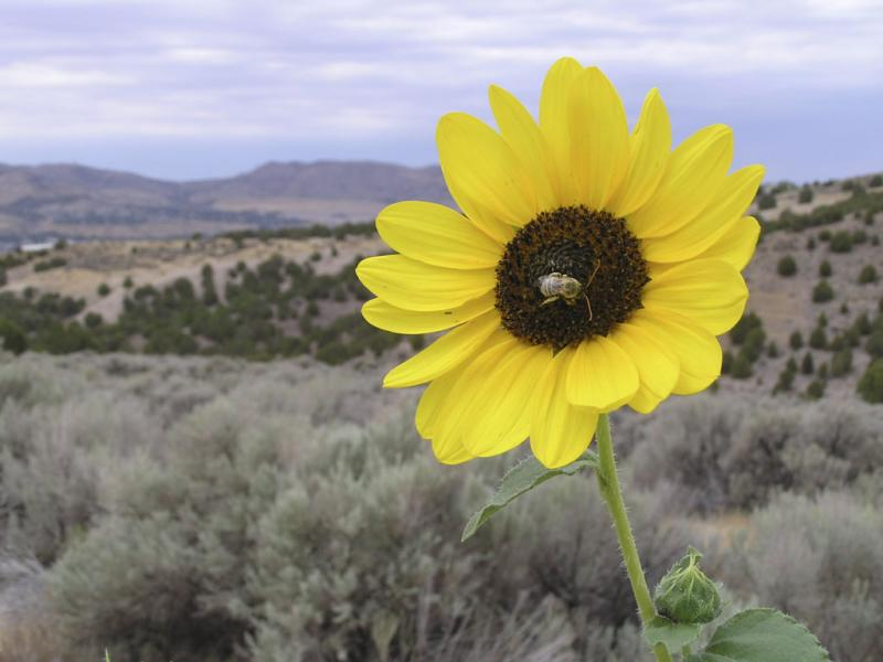 Sunflower with bee OlymposBild 006.jpg