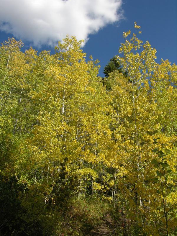 Fall Foliage (aspen) from Crestline Trail Nikon Coolpix 037.jpg