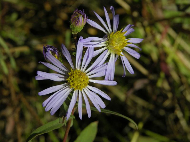 Late flowers, Crestline Trail Nikon Coolpix 074.jpg