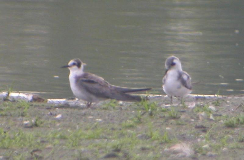 Black Terns Juveniles
