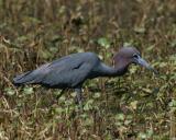 7686 Little Blue Heron