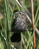 9612 Red-winged Blackbird (female)