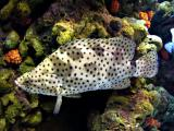 Panther Grouper - Chromileptes altiveles