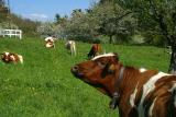Kühe im Frühling