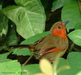 Red Faced Liocichla