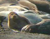 Birthing California Seals