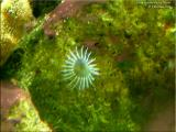 Ghost Feather Duster Worm