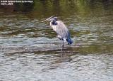 Blue Heron (?) stock photo #1071