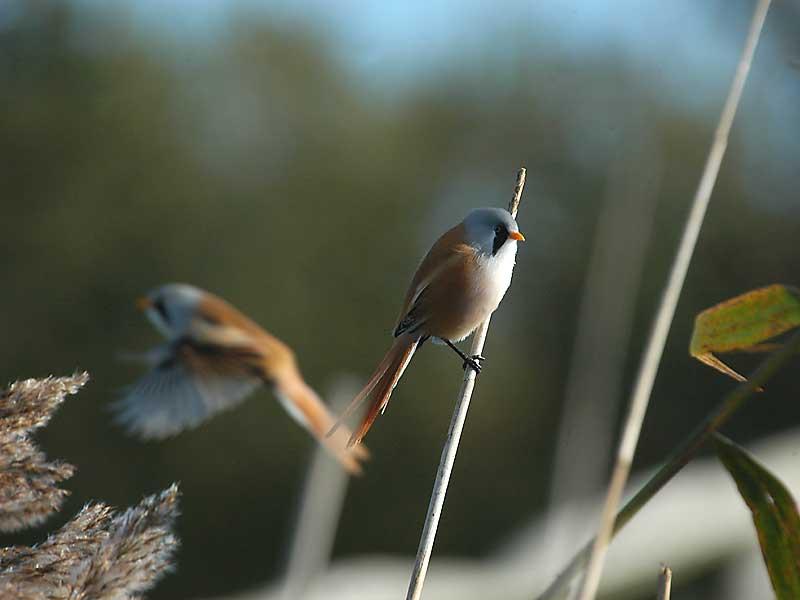Bearded Tit - Skægmejse- Panurus biarmicus