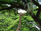 Chow Time for Giraffe