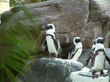 Hawaiian Penguins