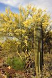 Flowering Palo Verde