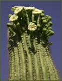 Menlo Park Saguaro