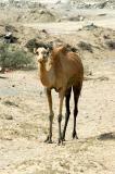 Camel near Kalba