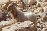 057 Wadi Rum, Geitmonster
