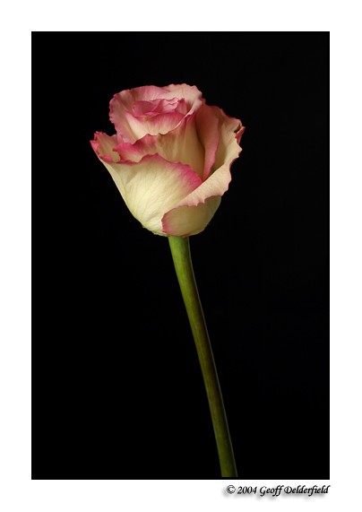 rose9 copy.jpg