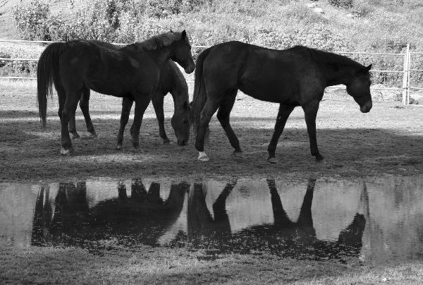 Reflections - Three Horses