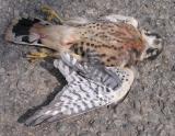 dead Kestrel