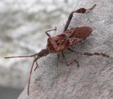 Leptoglossus occidentalis -- conifer seed bug