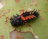 larva of Lady Beetle -- Harmonia axyridis
