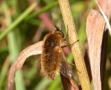 Bee Flies -- Bombyliidae