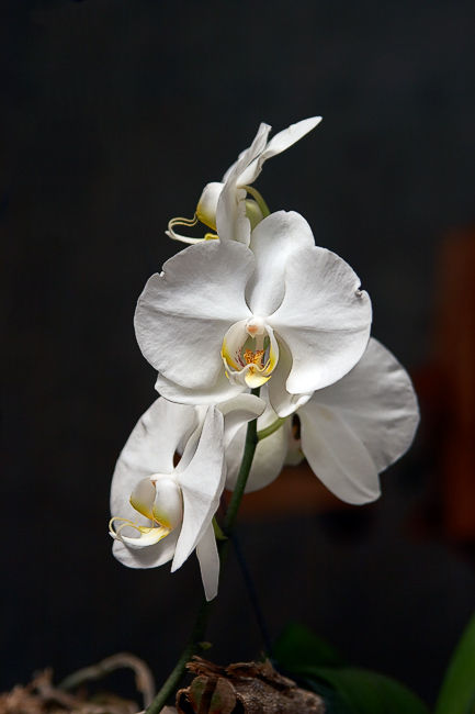 Orchid *