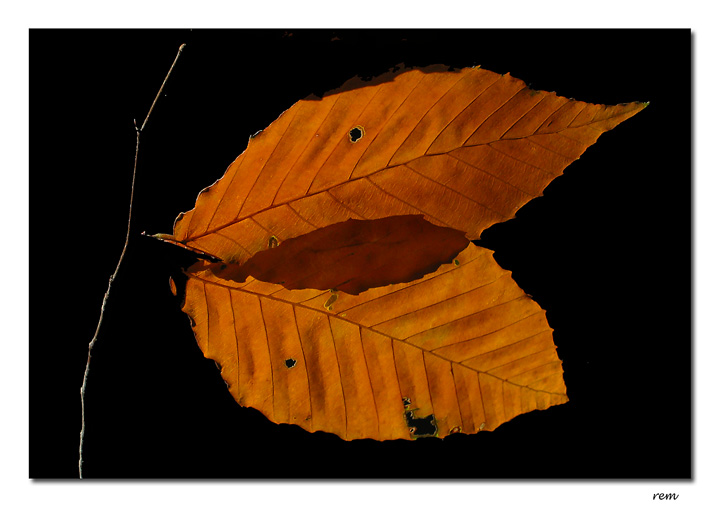Beech Leaves<br>IMG_4664w.jpg