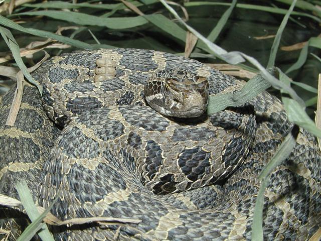 Eastern Massasaga Rattlesnake