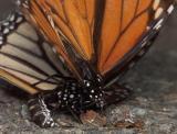 February 14, 2005 - Mating Monarchs