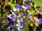 Blue-eyed Mary Wildflowers