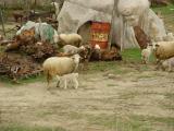 Çanakkale lambs in december