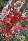 Wilting Red Plant