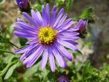 les_fleurs_bleu