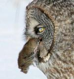 Great Gray Owl - View to a kill