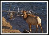 Elk Along the Madison River
