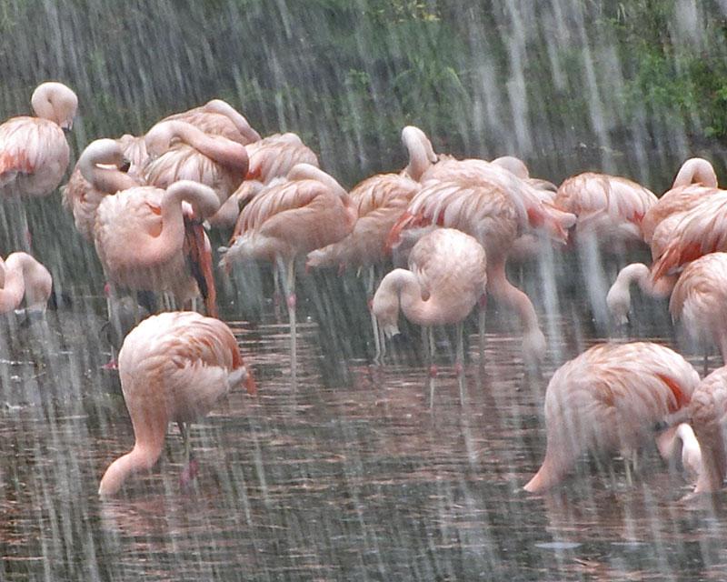 Closer inspection of Dutch flamingos