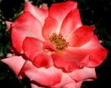 IMG_5316 roses.jpg