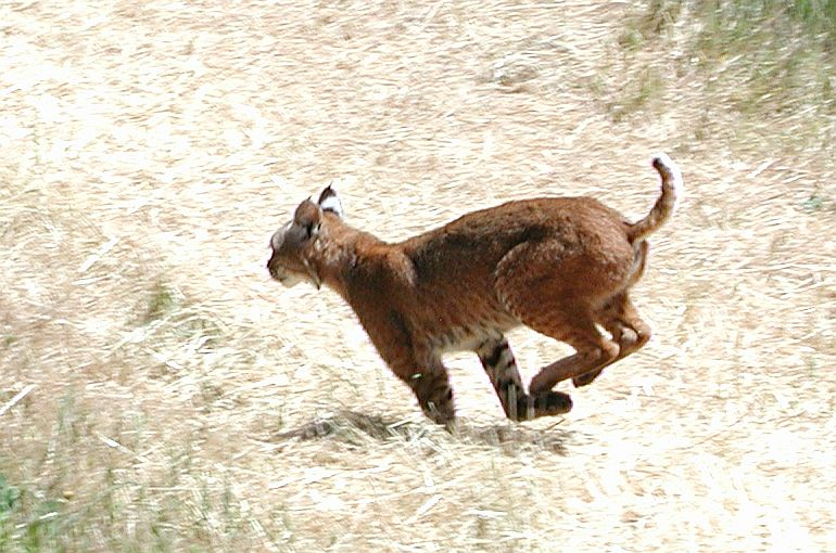 Bobcat in a chase