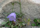 Blubell plant growing out of crack in granite boulder