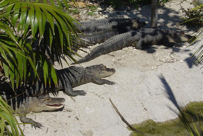 DSC01167 - Alligators (or crocs)